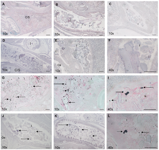 Detection and Localisation of the Abalone Probiotic Vibrio midae SY9 and Its Extracellular Protease, VmproA, within the Digestive Tract of the South African Abalone, Haliotis midae